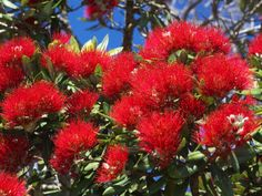 size: Photographic Print: Pohutukawa Flowers, New Zealand Poster by David Wall : Artists Red Flowers, Beautiful Flowers, Kiwiana, Coral, The Beautiful Country, Beautiful Places, Xmas Tree, What Is Like, Art Images