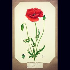 The red, common, corn, field or Flanders poppy (Papaver rhoeas) as illustrated by Harriet Moseley (1836-67), from a collection of watercolour drawings of British plants. Moseley lived in Worcestershire where she studied the local flora.  Papaver rhoeas is the species of poppy that grew in the fields where battle took place during World War I due to its propensity to germinate in disturbed soil.  The species is known as les coquelicot in French and it often featured in the works of…
