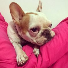 French bulldog in pink