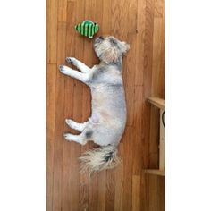 @jackiecous's video: dreaming dog