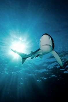 Blue Shark Sun by Jorge Fontes Save The Sharks, All Sharks, Types Of Sharks, Most Beautiful Animals, Beautiful Creatures, Orcas, Image Bleu, Shark Bait, Shark Fish