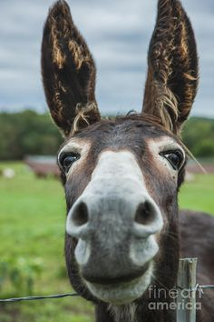America Photograph - Animal Personalities Friendly Quirky Donkey Face Close Up by Jani Bryson Cute Baby Animals, Farm Animals, Animals And Pets, Funny Animals, Funny Animal Faces, Wild Animals, Pretty Horses, Beautiful Horses, Animals Beautiful