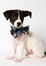 Puppy Berry, Jack Russell Mix