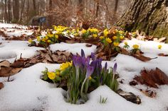 No! Please! Not another 8-10 inches of snow~ We are trying to bloom here! Lynn Whitmore's lovely picture of winter aconite and early crocus.
