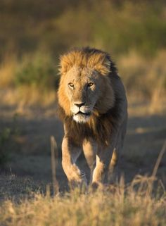 Lion Facts for Kids | African Animals | Big Cats