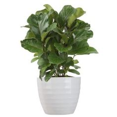 Costa Farms Pilea Peperomioides Sharing Plant in 6 in. Contemporary Planter-6PILEACONTEMP - The Home Depot Indoor Trees, Potted Trees, Indoor Plants, Buy Plants, Fake Plants, Inside Plants, Hanging Plants, Ficus, Tropical