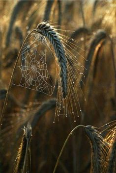 "Nature does the best design work! "" Wheat fields by Mia Morvan "" Spider's Webs "" All Nature, Amazing Nature, Spider Art, Spider Webs, Fotografia Macro, Wheat Fields, Natural World, Belle Photo, Beautiful World"