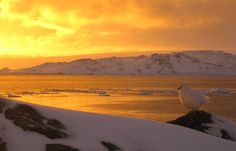 Antarctica: A Snowy Sheathbill sits before a spectacular sunset near Palmer Station.