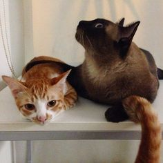 Continuous shot ... Tail photobomb ㋡♡, IG: incognito_me #cat #cats #kitten #kittens #siamese #sweetboy #meow #ginger #orangecat #boy #girl #love