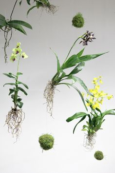 orchids by mail Orchid Plants, Air Plants, Orchids, Hanging Orchid, Hanging Plants, String Garden, Succulent Bonsai, Moss Garden, Orchid Care