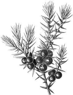 juniper berries drawing - Google Search