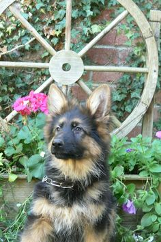 Always with the Long Hair German Shepherd, best looking babies and even better full grown.