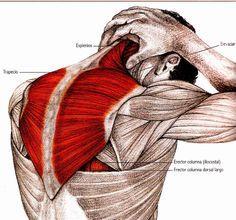Junto con la espalda, el cuello y los hombros, es una de las zonas que mayor tensión y dolor sufre con nuestra forma de vida, sobre todo ... Human Body Anatomy, Muscle Anatomy, Physical Fitness, Yoga Fitness, Health Fitness, Yoga Muscles, Yoga Routine For Beginners, Stretching Exercises, Yoga Benefits