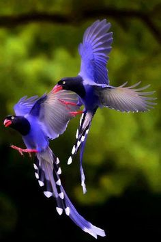 Tayvan Mavi Saksağan