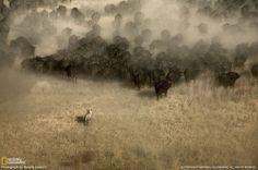 A lion hunts buffalo in Botswana