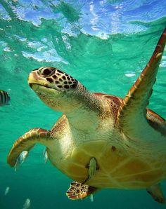 Beautiful Sea Life in Riviera Maya, Mexico Underwater Animals, Underwater Sea, Beautiful Creatures, Animals Beautiful, Cute Animals, Sea Turtle Pictures, Turtle Time, Ocean Creatures, Scuba Diving