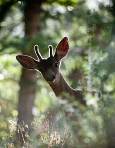 This pin looks like a young buck that we see daily. July 2017