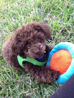 adorable chocolate Toy Poodle - want this breed :) hypo-allergenic too Baby Puppies, Bulldog Puppies, Baby Dogs, Cute Puppies, Cute Dogs, Doggies, Chocolate Toy Poodle, Fluffy Animals, Cute Animals