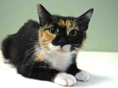 ROCHELLE - A1087986 - - Manhattan   *** TO BE DESTROYED 09/14/16 *** OWNER ARRESTED, ROCHELLE LEFT BEHIND…..A tragic tale for little ROCHELLE….thankfully a neighbor fed her for 10 days but then sadly took her to the ACC….Only a year old, ROCHELLE has stunning good looks! And she's the playful sort….but may be a little boisterous and could play best with wand or fishing pole toys to tire her out….. ROCHELLE is not yet spayed and she has no