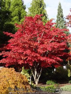 Acer palmatum 'Nuresagi'. Up to 8 ft tall, 4 ft wide. Spring color is purple-red. Leaves are more red to purple in the fall.