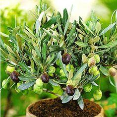 Olive,1 Pflanze Olea europaeaOlivenbaum