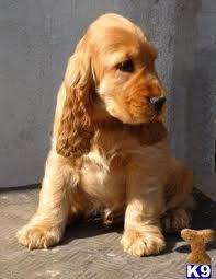 Golden Cocker Spaniel puppy