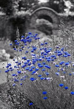 *❤️Just a touch of Cornflower blue along the road. #cornflowerblue #flowers #popofcolor