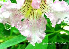 Rain on Chitalpa 2  photograph photography by GerushiasGarden