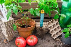 Nu är det dags att börja odla dina egna tomater.