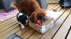 Cesar & Storm - DoggieBag.no #DoggieBag #Hund Dog Bag, Cavalier King Charles, Dogs, Animals, Animales, Animaux, Pet Dogs, Doggies, Animal