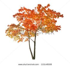 Red Autumn Maple Tree Isolated On White Background  Stock Photo