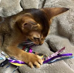 Abyssinian・・・love Cats Playing, British Soldier, Somali, Abyssinian, Cattery, All About Cats, North Africa, Beautiful Cats, Cat Breeds