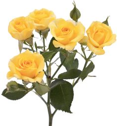 Spray Rose - Yellow Babe