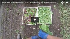 How To: Harvest Radish (Fast Harvesting for Restaurants)