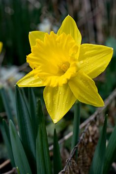 Dewy daffodil - Dewy daffodil You are in the right place about Dewy daffodil Tattoo Design And Style Galleries On Th - Daffodil Tattoo, Flower Tat, Daffodil Flower, Hope Symbol, Yellow Roses, Daffodils, Garden Inspiration, Wild Flowers, Lavender