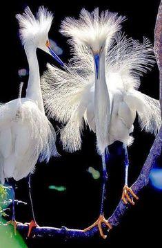 Snowy Egret (Egretta thula) Order: Pelecaniformes