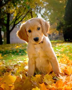 Golden Retriever in the fall