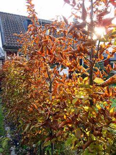 Carpinus betulus/Avenbok på hösten