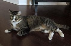 Missing!!Roger went missing on 4/5/16.He was last seen in Buckhead Village/Garden Hills neighborhoods of Atlanta, Georgia. He is an adult male tabby cat, who is neutered, vaccinated, and micro chipped. We are heartbroken without him. Please help! -Moylan Please share and get in touch with any info!