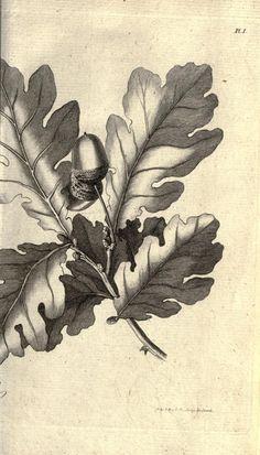 New oak tree tattoo small branches ideas Botanical Drawings, Botanical Illustration, Botanical Art, Oak Tree Drawings, Leaves Sketch, Oak Tree Tattoo, Acorn And Oak, Illustration Botanique, Flora