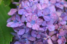 Hydrangea macrophylla at Lewis Ginter Botanical Garden -- Even more beautiful up close!