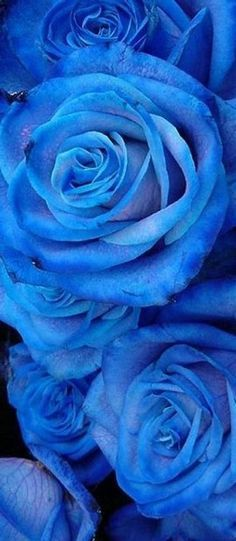 Blue Rose | House of http://ift.tt/1GMvHTL