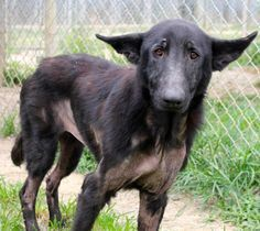02/05/17 SL~~~10/03/16- MILA Special Needs! Please read this sweet lovable girl's bio, she is 3 years old and will make a wonderful family member and companion Meet Mila, a Petfinder adoptable • German Shepherd Dog • Adult • Female • Large Sunny Meadows Safe Haven for Pets Memphis, TN
