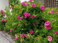 Rosa 'Dart's Defender' - keijunruusu - Pinsiön taimisto