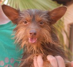 Marley, a young Yorkshire Terrier mix, is bashful with new people, but warms beautifully as trust builds.  He is 2 years of age, neutered, good with dogs and older kids, and debuting for adoption today at Nevada SPCA (www.nevadaspca.org).  Marley was surrendered to us by his previous owners because they could not give him enough attention.  Please visit and ask for Marley by name.