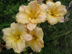 English Cameo daylily - Also have Cameo Pink