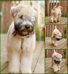 Chester was here today for his first real big boy Wheaten haircut. He was a bit of a Drama Queen with the blowdryer, but we got through it. Puppies are so forgiving; Wheaten Terrier Puppy, Dog Haircuts, Dog Hairstyles, Puppy Cut, Puppy Grooming, Dog Suit, Beautiful Dogs, Dog Breeds, Cute Dogs