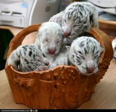 I see the white Bengal tigers are especially ripe this time of year. (Side note: where I used to live, there was a store that sold tree trunk baskets like the one in the picture.)
