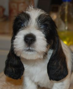 One of my other favorite breeds...the Petit-bassett griffon vendeen...it doesn't get much cuter than these guys!