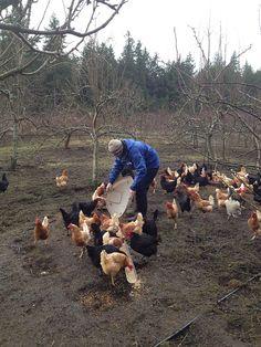 Feeding chickens.
